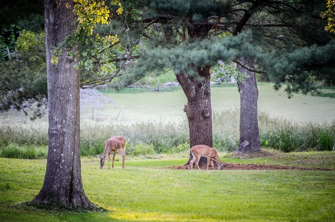 deer at the big pond